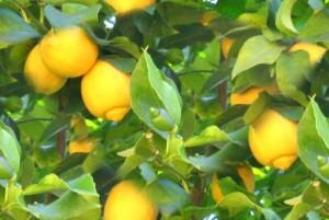 How-to-Grow-a-Healthy-Lemon-Tree